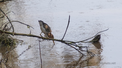 Green Heron, A Rule Refreshed - click to enlarge