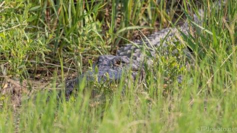 Fun Shot, Alligator - click to enlarge