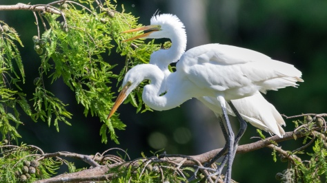 Great Egrets, Adult And Juvenile - click to enlrage