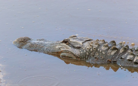 That Time Of Year, Alligator - click to enlarge
