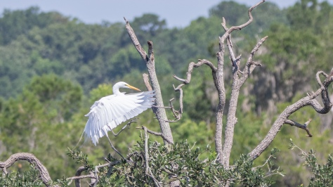 Great Egret In A Tree - click to enlarge