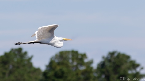 Egret, Moving Through - click to enlarge