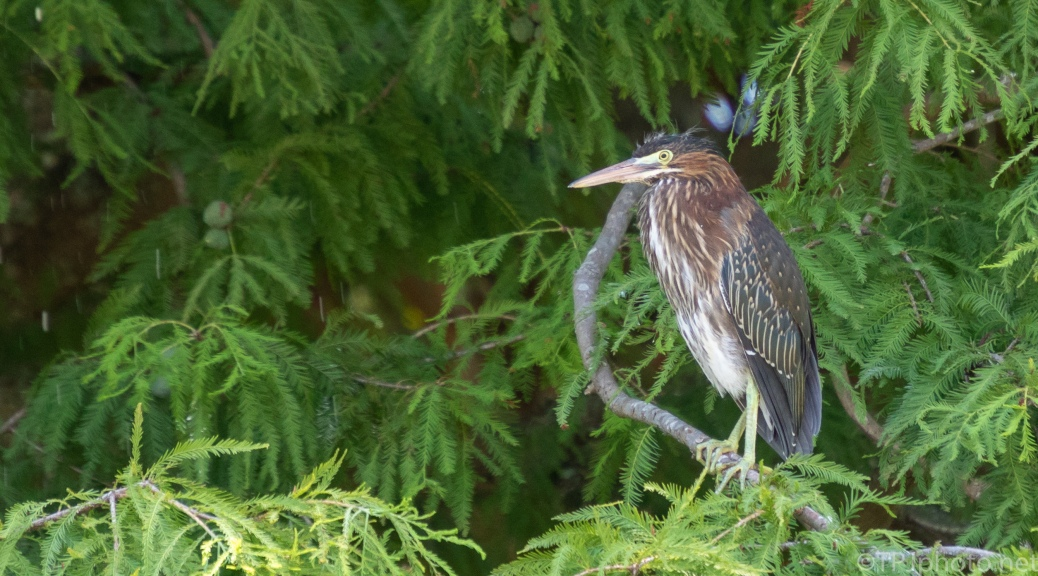 Little Green Herons - click to enlarge