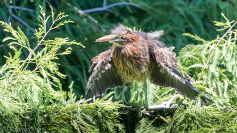 Baby Green Heron, Getting Fluffy - click to enlarge