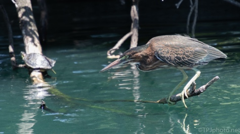 Learning To Hunt, Green Heron - click to enlarge