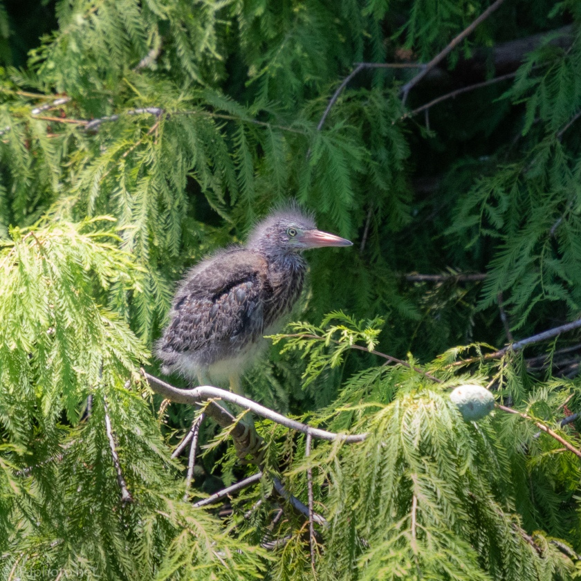 Baby Green Herons - click to enlarge