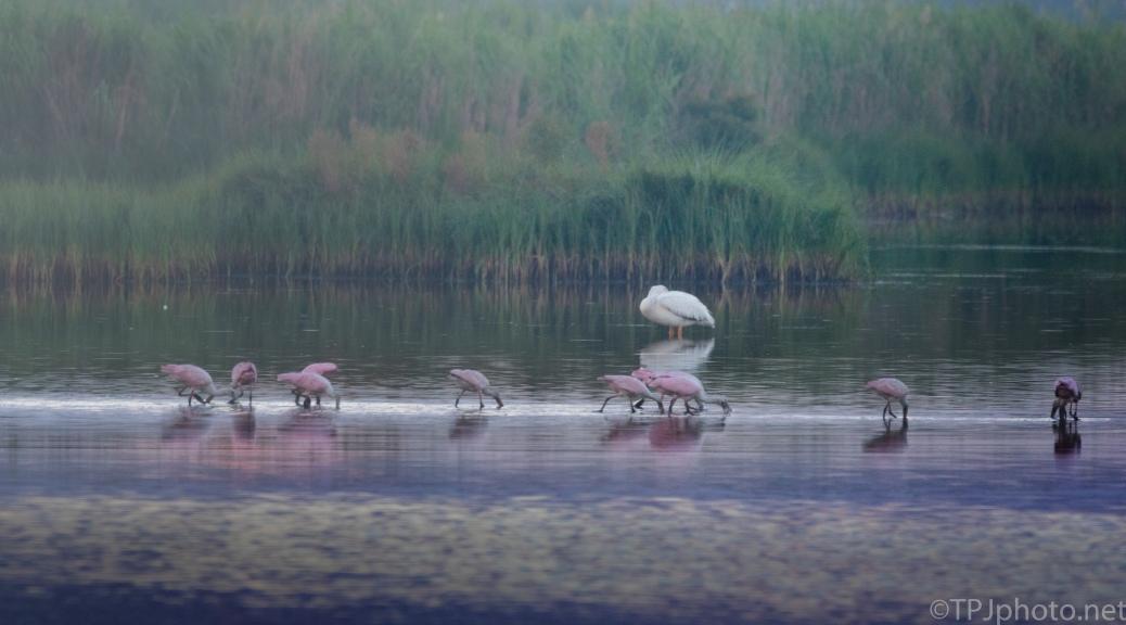 Marsh Birds, First Light - click to enlarge