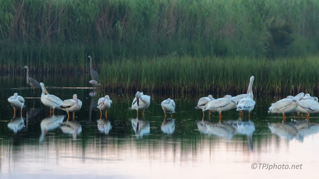 Early Light Pelicans In A marsh - click to enlarge