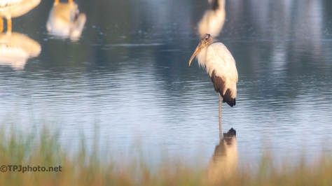 Wood Stork, First Light - click to enlarge