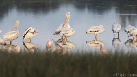 White Pelicans At Dawn - click to enlarge