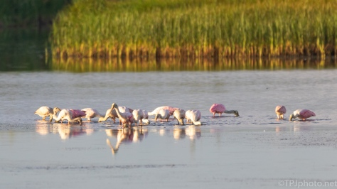 First Sight, Spoonbills - click to enlarge