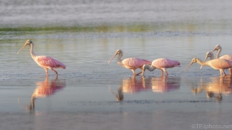 Early Morning Pink, Spoonbills - click to enlarge