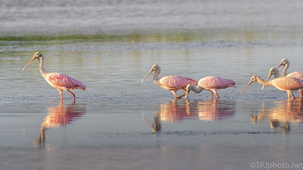 Early Feeding Spoonbills - click to enlarge