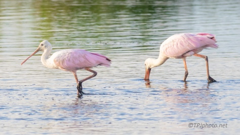Spoonbills Working As A Group - click to enlarge