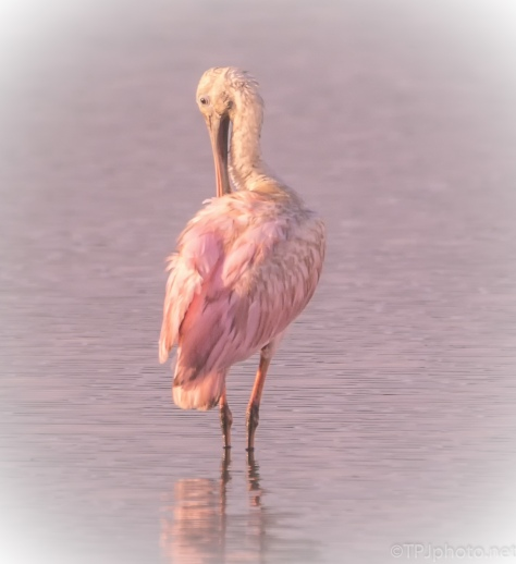 Roseate Spoonbill, A Little Soft Look - click to enlarge