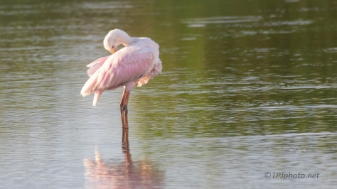 Roseate Spoonbill Being My Model - click to enlarge