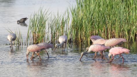 Spoonbills In The Morning Marsh Grass - click to enlarge