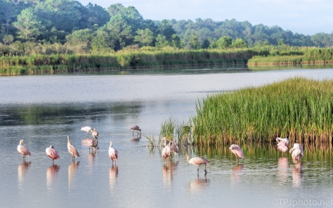 Spoonbill Flock - click to enlarge