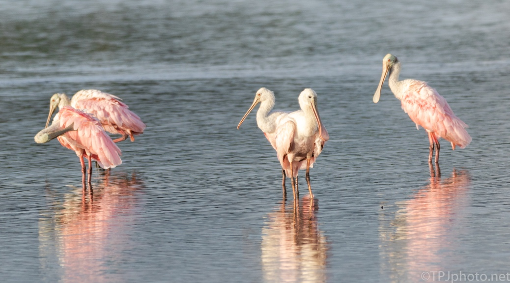Spoonbills Just Getting Light - click to enlarge