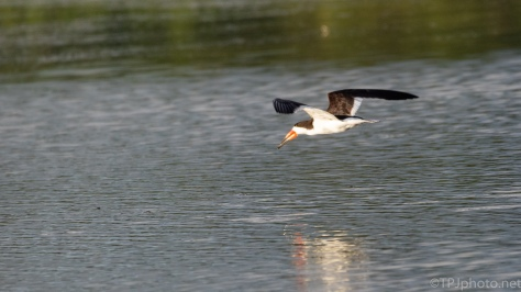 Black Skimmer's Are In The Marshes Now - click to enlarge