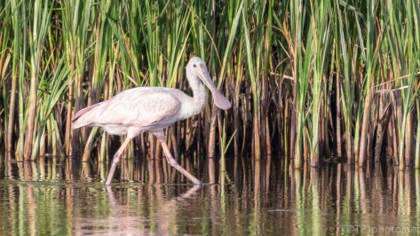 Spoonbill In The Reeds - click to enlarge