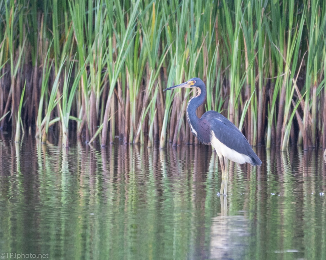 Tricolored Heron, Hunting The Reeds - click to enlarge