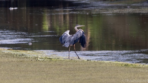 Great Blue Landing, Being Watched - click to enlarge