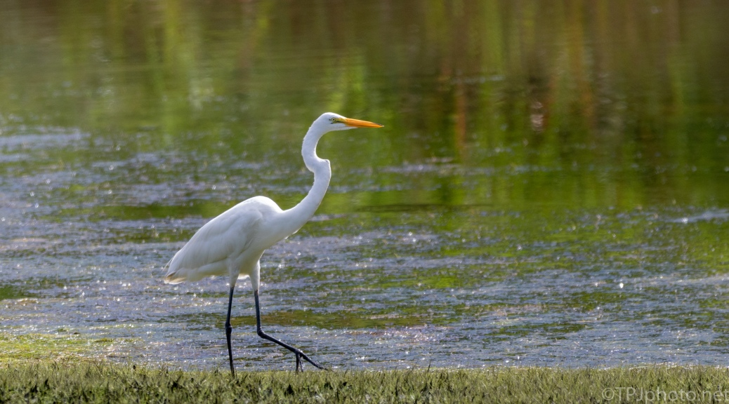 Great Egret Avoiding The Water - click to enlarge