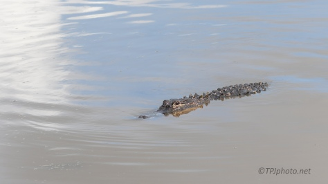 Busy Alligator Day - click to enlarge