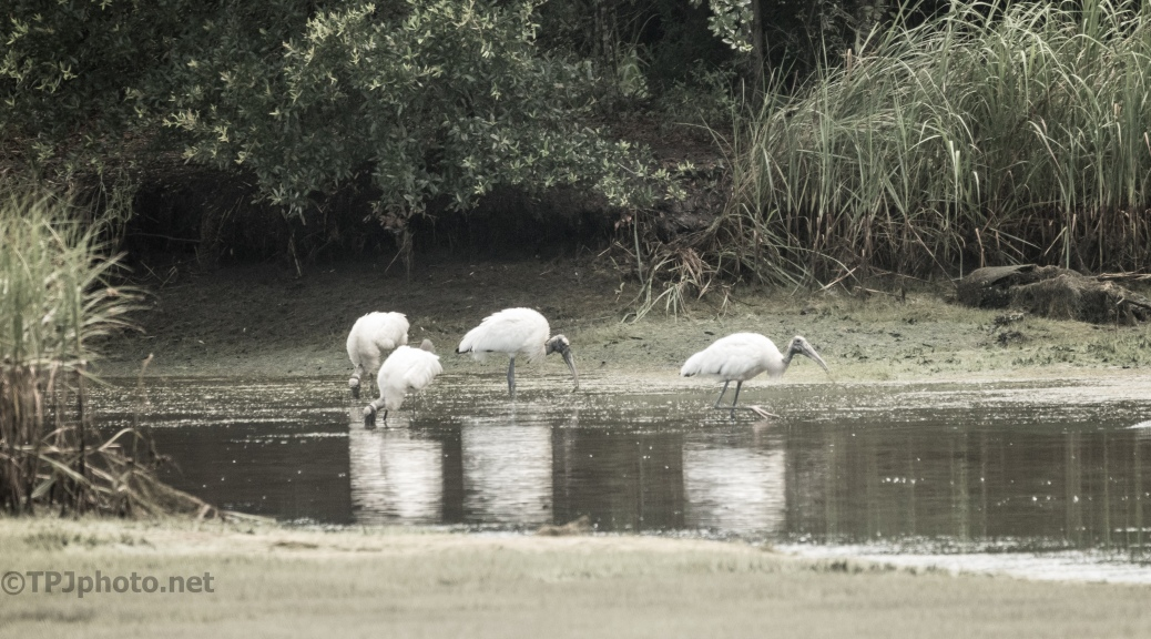 Wood Storks Hunting -click to enlarge