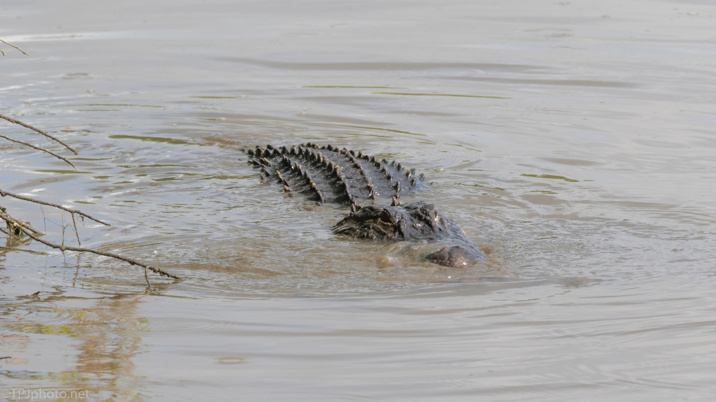 In The Shallows, Alligator - click to enlarge