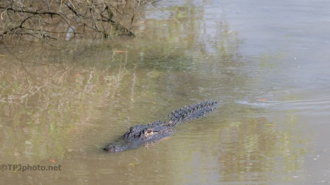 The Edge Of A Marsh, Alligator - click to enlarge