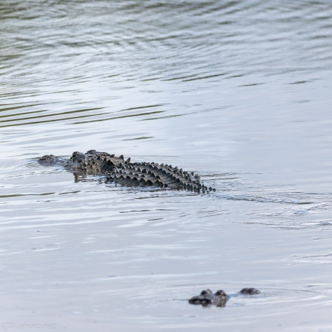 Gathering In The Same Locations, Alligators - click to enlarge