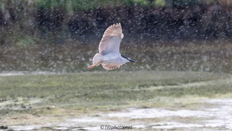Rain And A Night Heron - click to enlarge