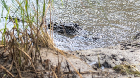 Congress In Session, Alligator - click to enlarge