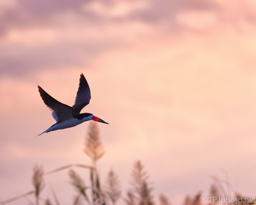 Black Skimmer At Dawn - click to enlarge