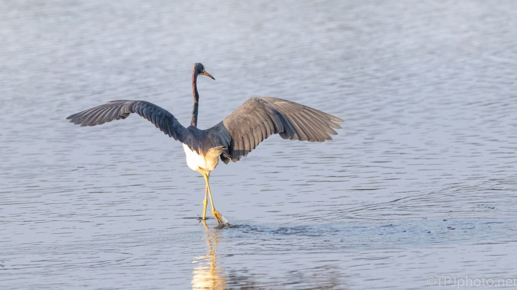 The Ballerina, Tricolored Heron - click to enlarge