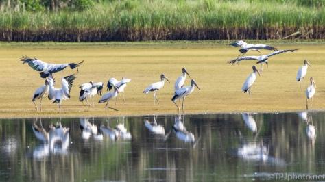 Wood Stork Flock - click to enlarge