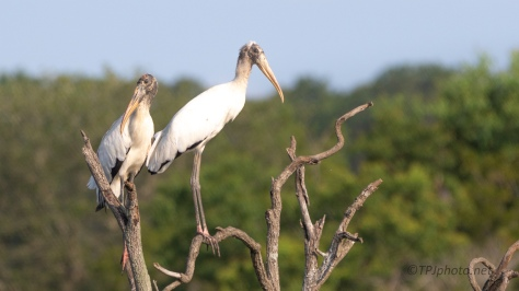 Wood Storks, On Top of The World - click to enlarge