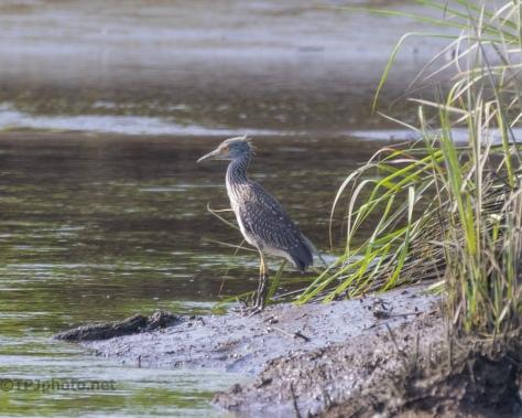 Juvenile Yellow-crowned Night Heron - click to enlarge