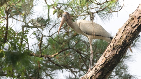 Portrait Of A Wood Stork - click to enlarge