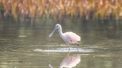 Little Spoonbill - click to enlarge