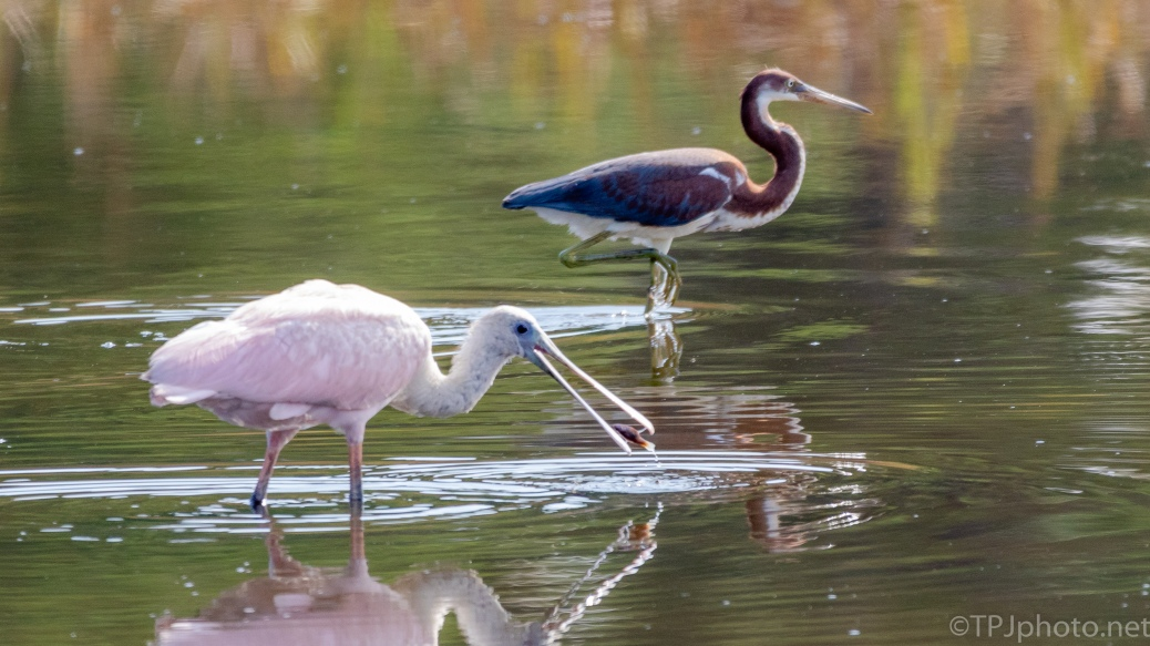 Spoonbill Catching Fish, Jealous Tricolored Heron - click to enlarge