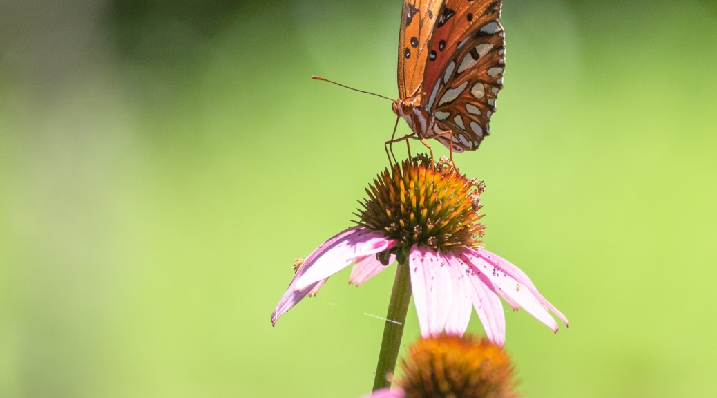 Butterfly, Cone Flower - click to enlarge