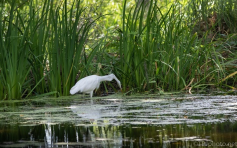 Great Egret Poking Around The Grasses - click to enlarge
