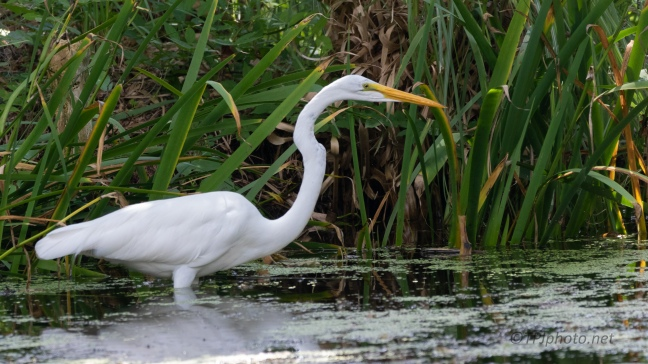 Great Egret Hunting In The Grasses - click to enlarge