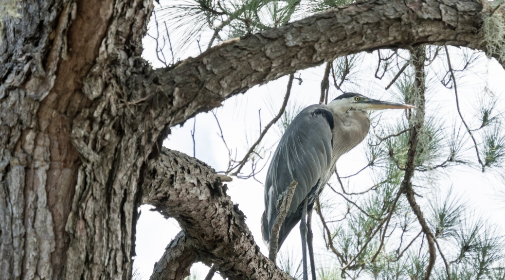Look Up, Great Blue Heron - click to enlarge