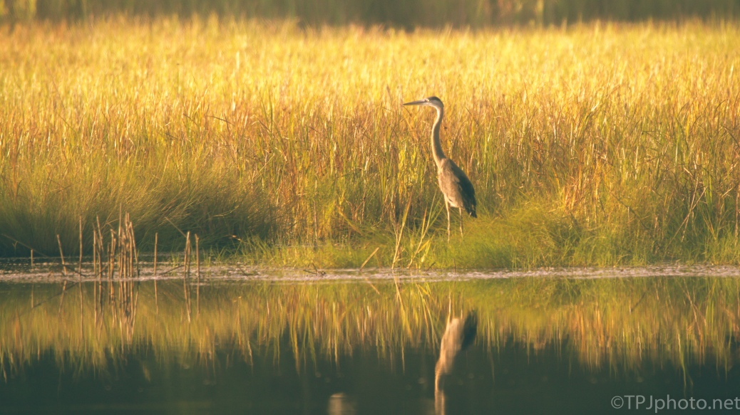 Golden Light, Heron - click to enlarge