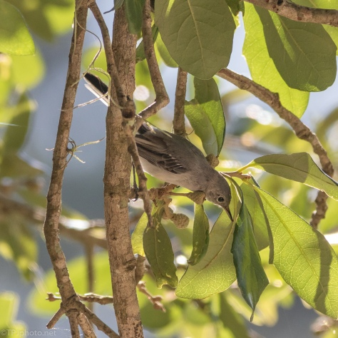 Blue-gray Gnatcatcher Almost Hidden - click to enlarge