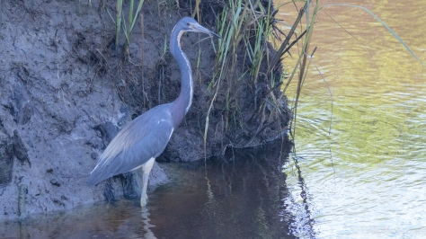 Tricolored Heron In The Shade - click to enlarge